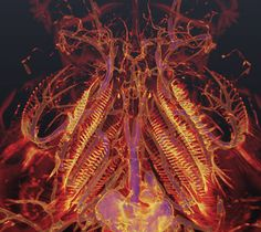 CT scans help answer question of how fish lungs evolved  February 7, 2013 by Linda B. Glaser