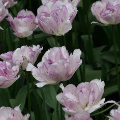 Tulipe Double Shirley - Très belle bulbeuse à fleurs doubles, mauve pâle moucheté de blanc.