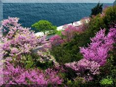 Istanbul is painted purple in spring... Judas Trees (called erguvan in turkish) all accross the city flourish and make me happy