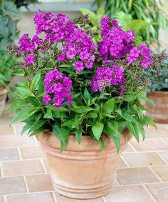 Phlox Nicky Plant - Placed in a vase or cascading across your landscape, these beautiful blooms add a splash of color to your home.