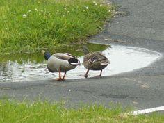 Mallards Delaware City, Mallard, Bird, Animals, Animales, Animaux, Birds, Animal, Animais