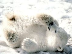 (KO) Baby Polar Bear rolling in snow. Mom is nearby watching him, ready to give a beat down to any male Polar Bear who would try to kill her baby so that she would be ready to mate sooner. Tough luck big guy. No romance to be had here, and if you don't want an ear bitten off and a tear or two in your hide, you better make tracks out of there.  Be patient, Romeo. She'll let you know when she's ready for love.