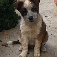 Hagerstown, Maryland - Cattle Dog. Meet Smudge, a for adoption. https://www.adoptapet.com/pet/20514354-hagerstown-maryland-cattle-dog-mix