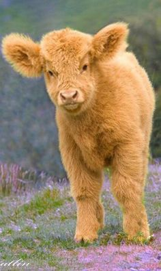 This. Baby. Cow.