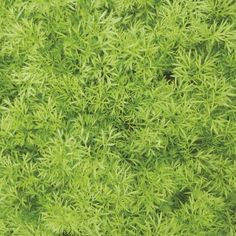 Coriander Confetti Seeds - Irish Plants Direct