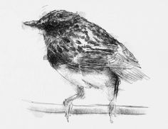 Artist Sean Briggs producing a sketch a day Speckled #art #bird #drawing #http://etsy.me/1rARc0J #sketch