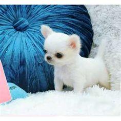 Baby boy Teacup Chihuahua so cute!