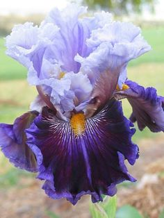 TB Iris 'Megarich' (Blyth, 2012)