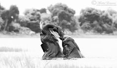 "Morkel Erasmus Photography.   ""Twisting Trunks"" ""These two young elephant bulls were photographed on the Wild Eye photo safari I hosted on the Chobe river in Botswana last year. They had a ton of fun floundering around in the shallows of the river, and their play was uninhibited and entertaining."""