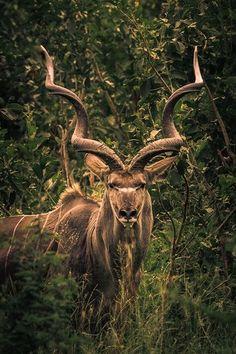 Magnificent kudu bull