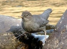 """This species, like other dippers, is equipped with an extra eyelid called a """"nictitating membrane"""" that allows it to see underwater, and scales that close its nostrils when submerged. Dippers also produce more oil than most birds, which may help keep them warmer when seeking food underwater."""
