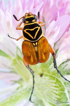 Delta Flower Beetle - Trigonopeltastes delta | Flickr - Photo Sharing!
