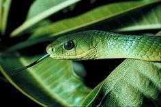East African Bush Snake