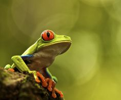 Red Eye Tree Frog by martinfisherphoto, via Flickr