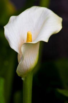 Arum Lily ,Zantedeschia aethiopica - white