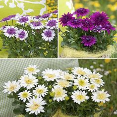 Osteospermum 3D Collection - We love all these beautiful daisy-like flowers at this time of year! This lovely new Osteospermum is the perfect plant for colourful summer containers and unlike other kinds the flowers stay open day and night so you can enjoy them even more! http://www.yougarden.com/item-p-400460/osteospermum-3d-collection #summer #flowers #daisy #osteospermum #gardening #spring