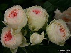 Pashmina  -  Pompon Flower Circus (Hybrid Tea)