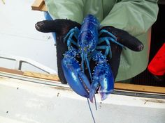 Blue plate special!  Rare blue lobster caught off of P.E.I.  The pigment is due to a rare genetic disorder.