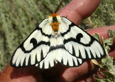 Hera buckmoth. Baker County Blog: NEW MOTHS IN BAKER & UNION COUNTIES (Oh, & did I mention Iraq?)