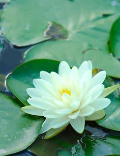 The sight of a water lily in bloom speaks of serenity and peace to me. Exotic Flowers, Amazing Flowers, Beautiful Flowers, Beautiful Gardens, Calla, Lily Pond, Water Flowers, Aquatic Plants, Planting Flowers