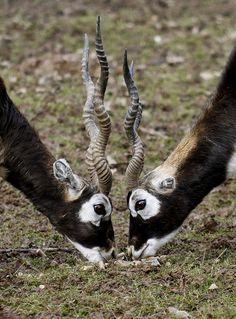 El sasin, antílope indio, antílope negro o cervicabra es una especie de mamífero artiodáctilo de la familiaBovidae que se encuentra en la India, este de Pakistán y Nepal. Es la única especie de su género.