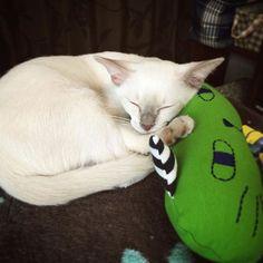 今日から家族がしばらく家を空けるので私が仕事から帰るまでの間はずっとお留守番にゃんこ。大丈夫とは思うけど、仕事の合間にお留守番カメラ覗こう😳笑.. ... .. #猫 #tonkinese #tonkinesecats #ねこ #にゃんこ #にゃんすたぐらむ #ねこすたぐらむ #ねこ部 #にゃんだふるらいふ #猫のいる暮らし #猫のいる生活 #kitten #猫好きさんと繋がりたい #トンキニーズ #白猫 #ペット #愛猫 #cat #pet #instacat #neko #instacats #NEKOくらぶ #みんねこ #生後3か月 #お迎え14日目 #おはよう #子猫 #こねこ