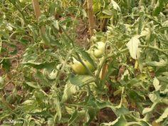 RÍO MOROS nos cuenta cómo consigue los mejores tomates a través de consejos sencillos y eficaces. ¡Apunta!