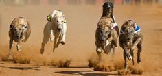 Yet Another Reminder That Greyhound Racing is the Worst | Dogster