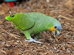 Orange-winged Parrot (Amazona amazonica) by Dick Daniels