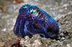 Euprymna berryi is a species of bobtail squid, which are part of a group of cephalopods closely related to cuttlefish. Bobtail squid tend to have a rounder mantle than cuttlefish and have no. Underwater Creatures, Underwater Life, Ocean Creatures, Beautiful Creatures, Animals Beautiful, Cute Animals, Wild Animals, Baby Animals, Fauna Marina