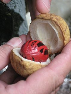 """What is Nutmeg? Nutmeg grows like a chestnut or a """"conker"""". Open up its fleshy outer shell to find a """"war of the world"""" type scene. The red lacey stuff covering the nut is Mace, a spice dried, and ground. The nut in the middle is Nutmeg itself."""