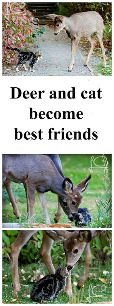 """You are my """"deer"""" friend. Read this beautiful story about how deer and a cat became best friends: http://www.traveling-cats.com/2014/01/cat-from-williams-lake-canada.html (cute animals, deer, cats, pets, Williams Lake, Canada, Scout Island Nature Centre)"""