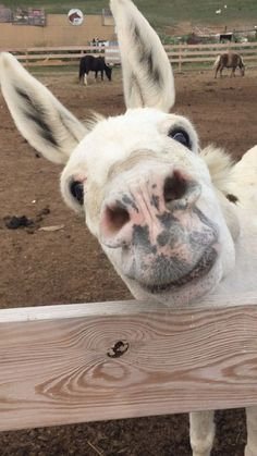 How to Care for a Donkey – Nutztiere Minature Donkey, Donkey Donkey, Baby Donkey, Cute Donkey, Mini Donkey, Donkey Funny, Mini Pigs, Baby Cows, Clydesdale
