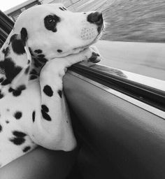 Dalmatian Dog with its head out a car window