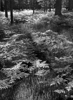 1948 Ferns, Valley Floor, Yosemite National Park, California [dense ferns and grass, bases of tree trunks at top of image] by Ansel Adams 77.66.11