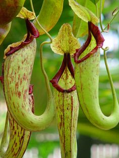 """carnivorous pitcher plant -pretty creapy to see the bugs these things catch in their """"pitchers"""""""