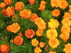 Growing Marigolds: Tips and Tricks Tips for growing marigolds in your vegetable garden Growing Marigolds, Growing Herbs, Dwarf Plants, Marigold Flower, Garden Planner, Annual Flowers, Plant Pictures, Companion Planting, Calendula