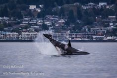 K13 Skagit, born in 1972 and mother to 4 orcas, grandmother of 2, shows her power with a huge cartwheel in front of the Des Moines Marina.