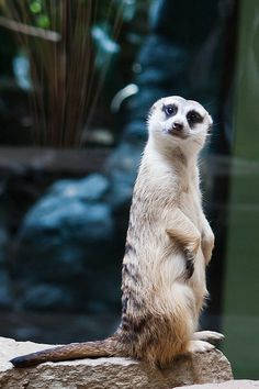 Meerkat-why, Hello there, you look marvelous!