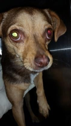 Unknown Outcome 💔ID35453573  SpeciesDog  BreedChihuahua, Short Coat/Mix  Age3 years 2 days  GenderFemale  SizeSmall  ColorTan  SiteDepartment of Animal Services, City of El Paso  LocationSally Port  Intake Date5/25/2017