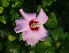 Learn how to grow and care for a rose of Sharon plant