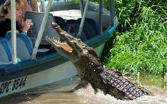 alligators attacks   Crocodile attack on tourist boat in Costa Rica Photo: PAUL STODOLNY ...