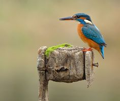 Kingfisher Female With Fish And Water Beads Look Hard For The