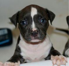 Like this cute pitbull puppy