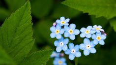 mavi çiçekler -