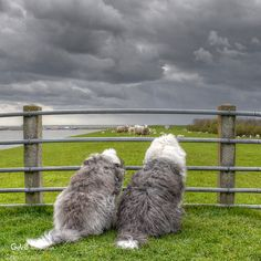 Old English Sheepdogs Netherlands