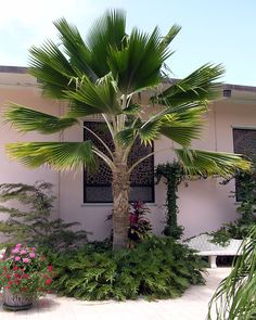 Tropical Backyard Landscaping, Backyard Ideas, Pink Houses, Tropical Plants, Flower Beds, Trees To Plant, Palm Trees, Landscape Design, Most Beautiful