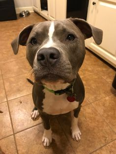 My boy, Bacon, just turned a year old. Amstaff Terrier, Cute Dogs, Awesome Dogs, Pit Bulls, My Boys, Year Old, Best Dogs, Animal Pictures, Funny Animals
