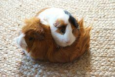 Snuggling, guinea piggy style! <3 #cute #animals #guinea_pigs