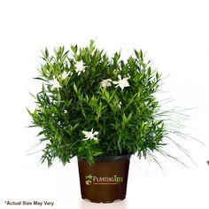 Frost Proof Gardenia shrubs are a heat loving evergreen with intensely fragrant blooms. This southern shrub produces fragrant blooms without the maintenance. Shop our online garden center for fast dellivery! Organic Fertilizer, Organic Gardening, Gardenia Bush, Front Yard Plants, Organic Horticulture, Small Shrubs, Foundation Planting, Landscape Edging, Evergreen Shrubs